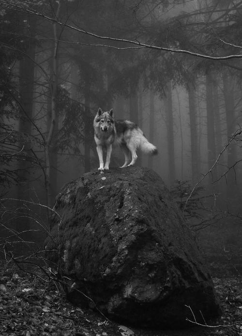 amazing-black-and-white-forest-grey-wolf-Favim.com-661408